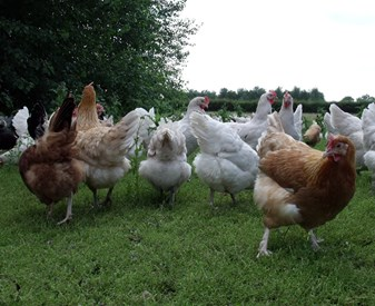 Free-range speciality breed hens