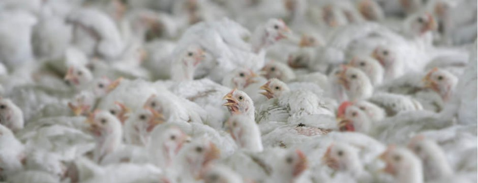 Tightly packed broiler chickens