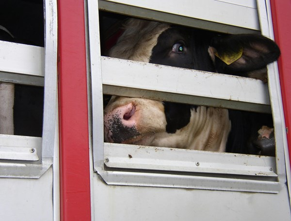 Live Animal Transport Compassion In World Farming