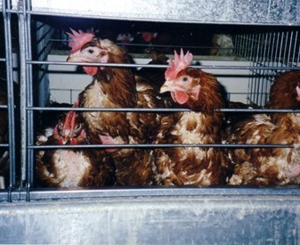 Caged hens - signs of feather pecking