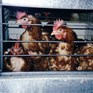 Welfare issues for egg laying hens