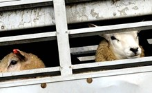 Sheep in transport