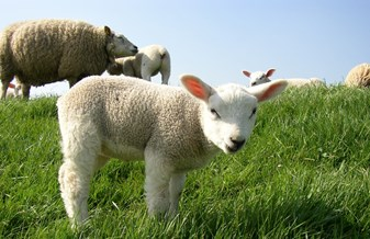 A lamb in field of sheep