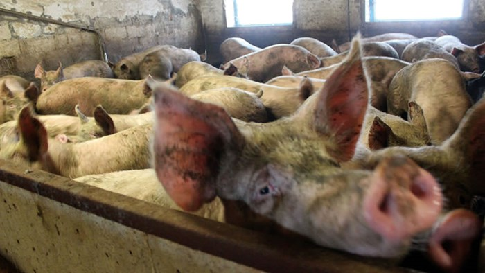 In some farms animals were so densely housed that they were barely able to lie down together