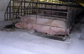 Sow in stall lying on part slatted floor