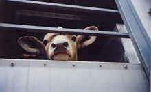 Calf being transported