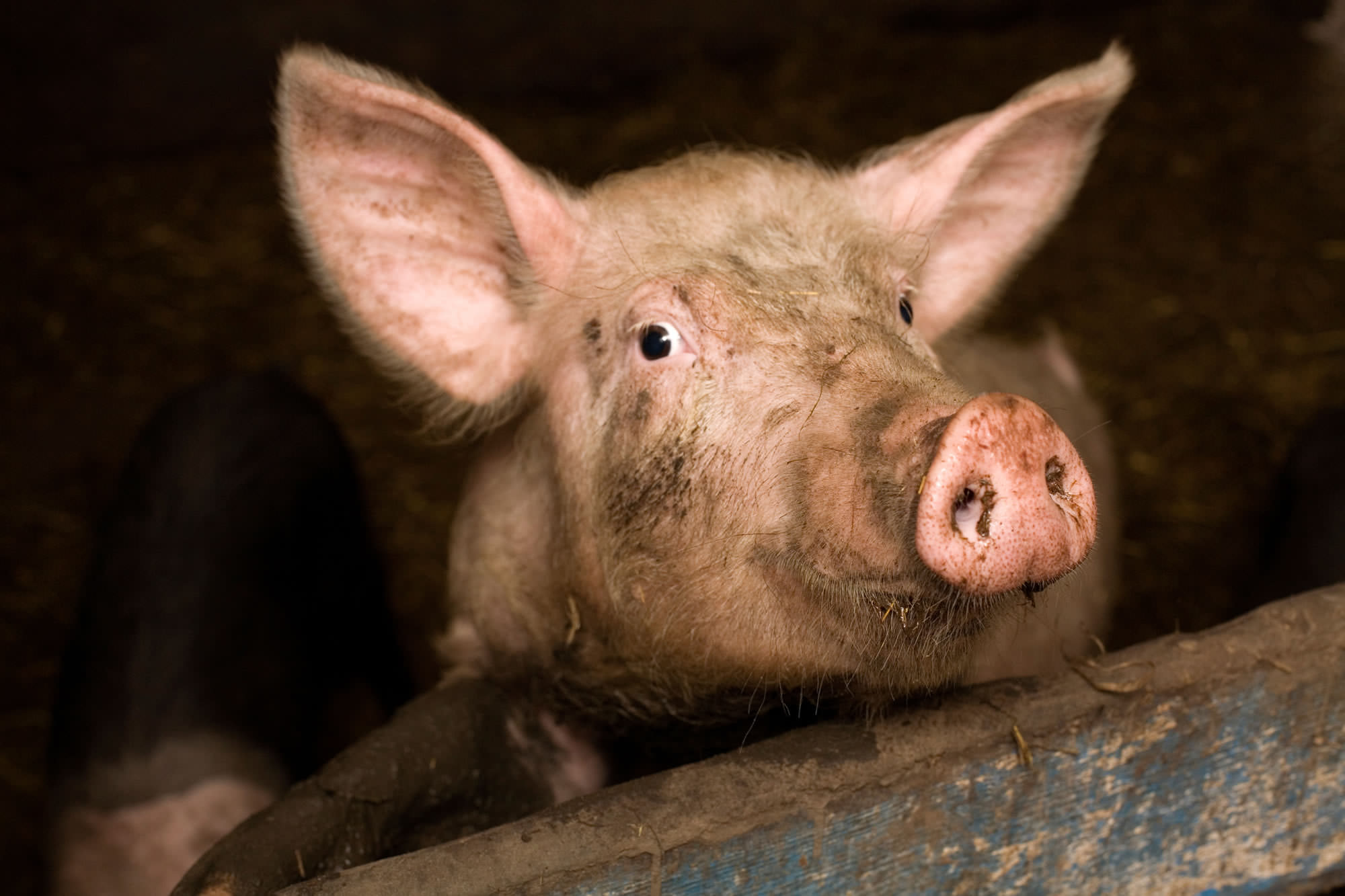 Project Pig | Compassion in World Farming