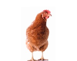 Compendium: The complete guide to laying hens