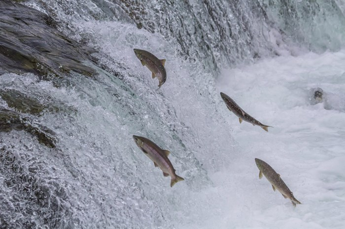 Sockeye salmon jumping up falls