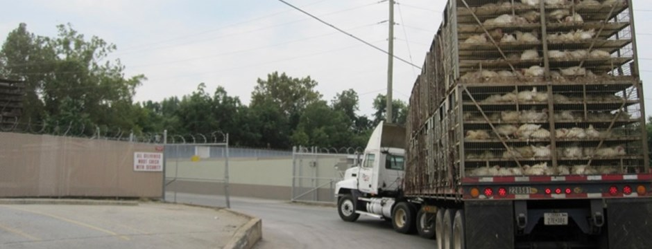 A truck loaded with broilers in the US turns into the slaughterhouse.