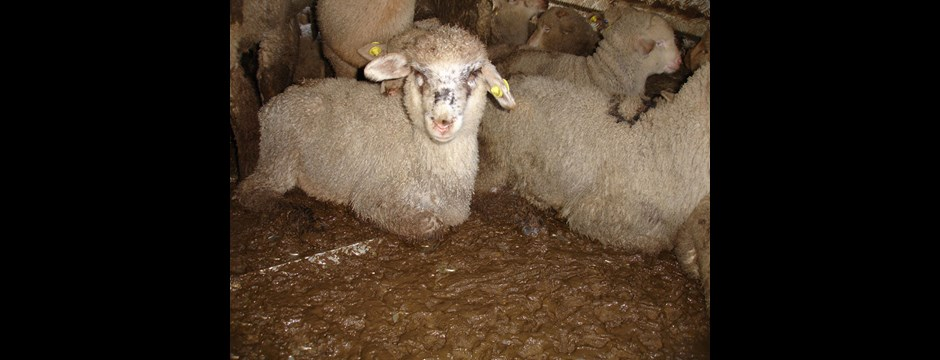 Sheep being transported from Greece to Turkey are forced to rest in their own filth.