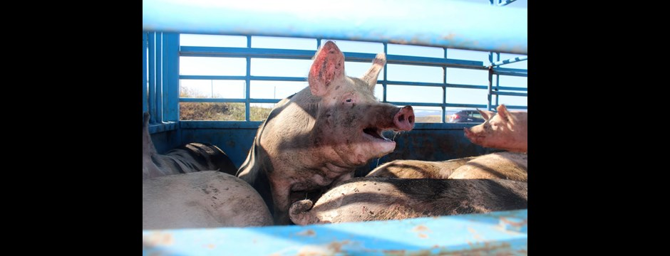 Factory farmed pigs in Cyprus being taken to slaughter.