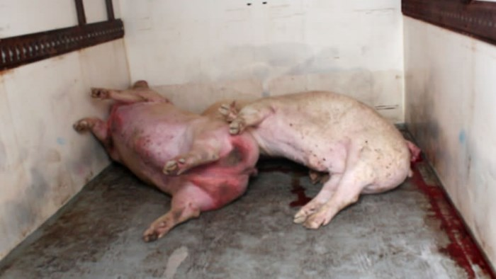 Many pigs were scarred from fighting.