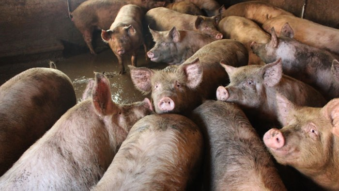 Pigs stuck in filthy, barren systems