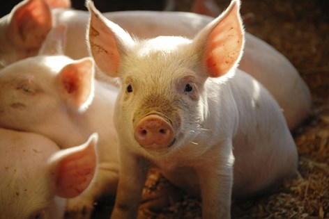 Aninimal Book: Six reasons why GM animals are a bad thing   Compassion in ...