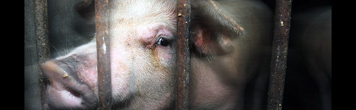Pig Looking Out From Behind Bars