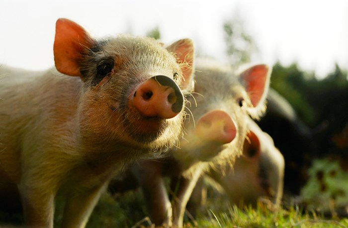 Close Up Two Piglets In Field