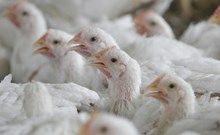 Close Up Of Intensive Broiler Chickens