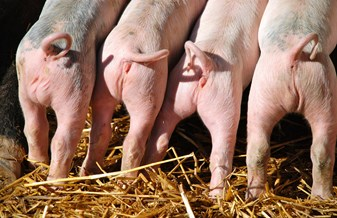 Piglets with intact tails