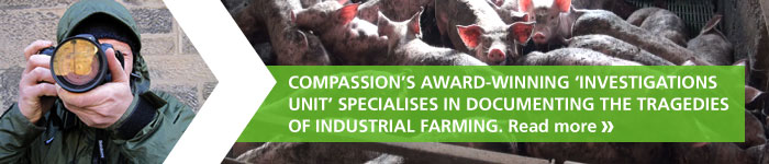 Compassion's award-winning 'Investigations Unit' specialises in documenting the tragedies of industrial farming. Read more »