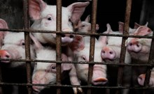 Image of piglets in a factory farm