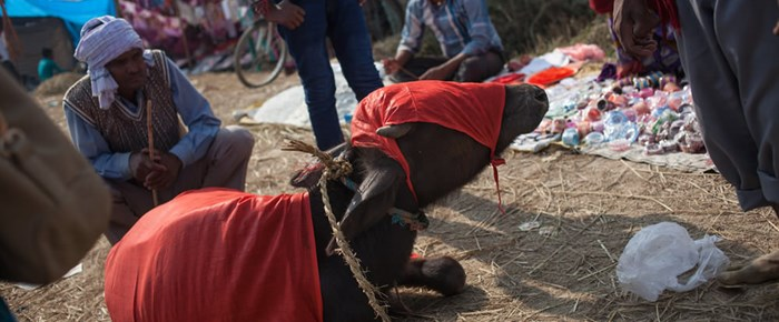 Gadhimai: in pictures