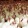 Italy bird flu: intensive farming in dock