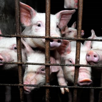 factory farming research paper