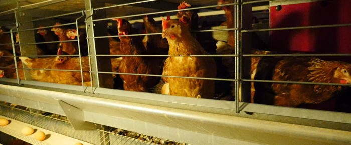 Enriched cage hens 6