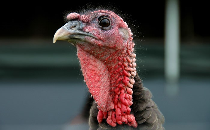 Close up of turkey in pasture