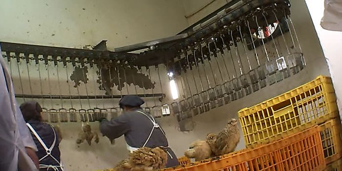 Portugal - quail wait before being grabbed and hung upside down on the slaughterline