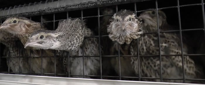 End the Cage Age for Europe's quail