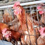 Ask Asda to go cage-free