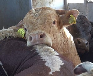Help end the EU's cruel live animal export trade
