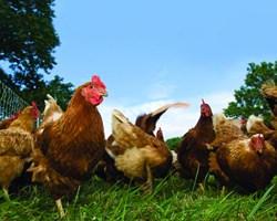 Group of laying hens in field_361_.jpg