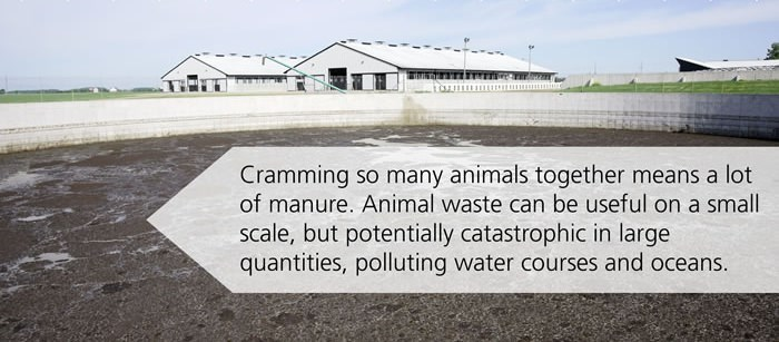animal waste on a factory farm