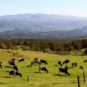 Tranquil cows in a tranquil pastoral setting Veracruz (2).jpg