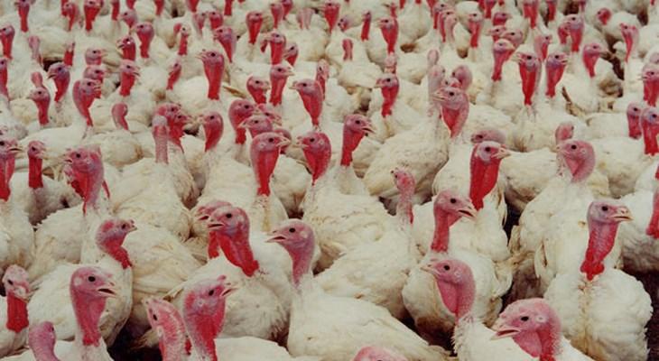 Turkey Welfare   Compassion in World Farming