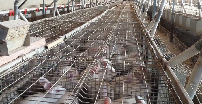rabbit after rabbit in barren battery cages.jpg