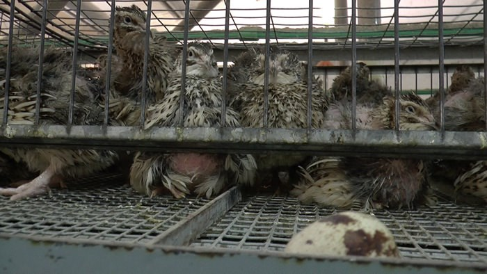 Quail in cages.jpg