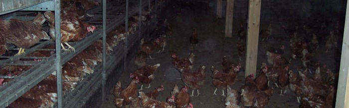 Laying hens in a barn system