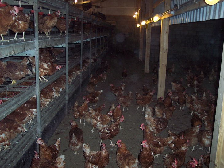 713363dca About egg laying hens