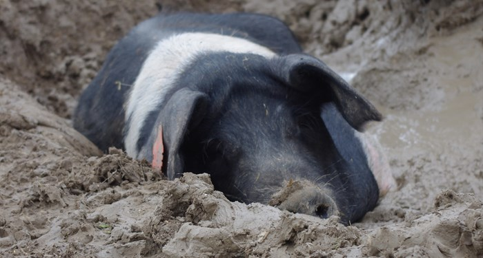 Sow wallowing