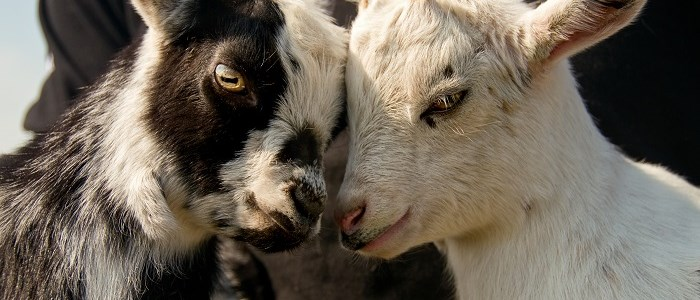 Two goat kids rubbing noses