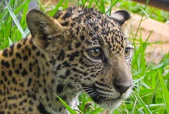 jaguar-335x225.jpg
