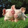 Oui! A wonderful 'Pig Win' for Compassion France