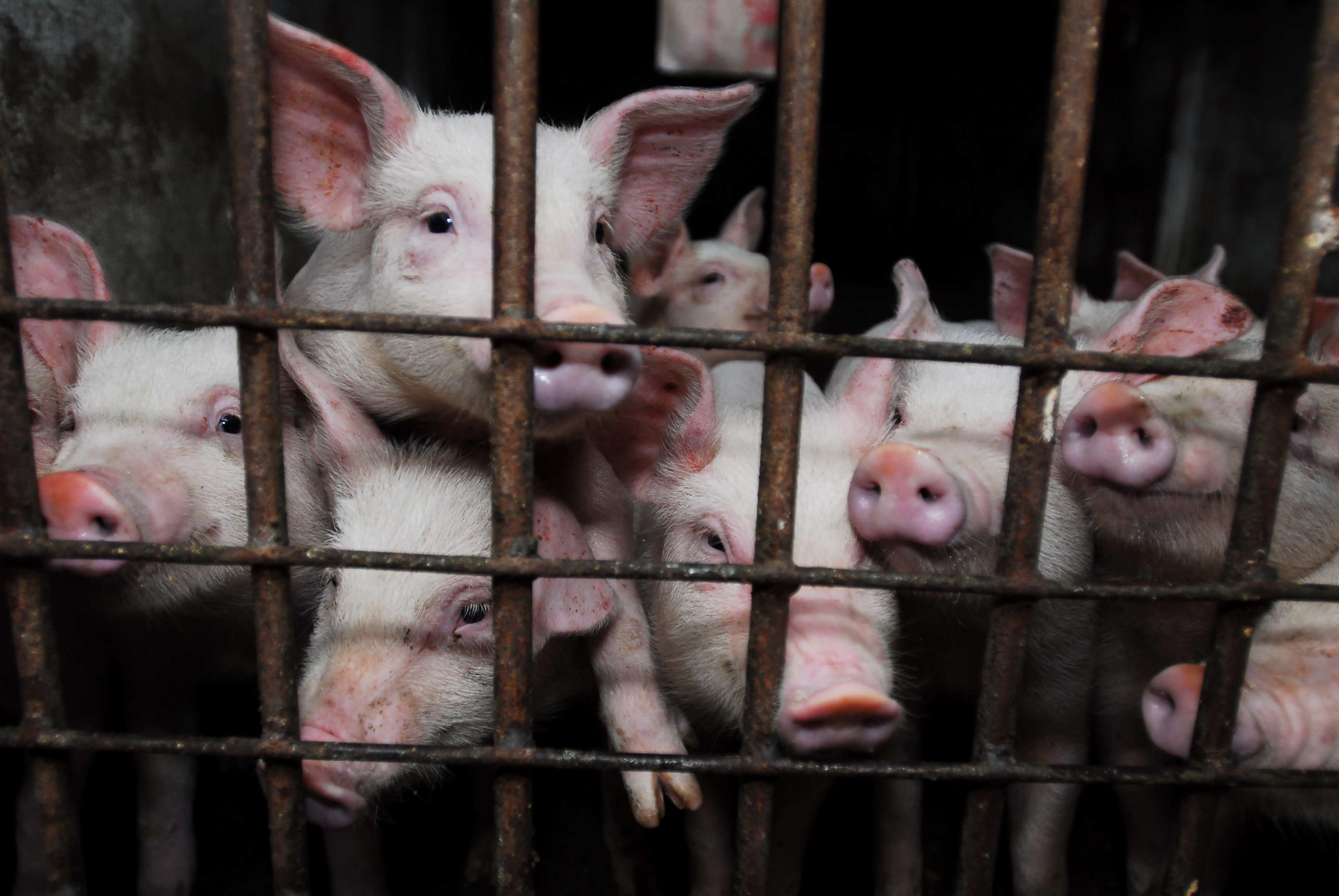 factory farming animal cruelty