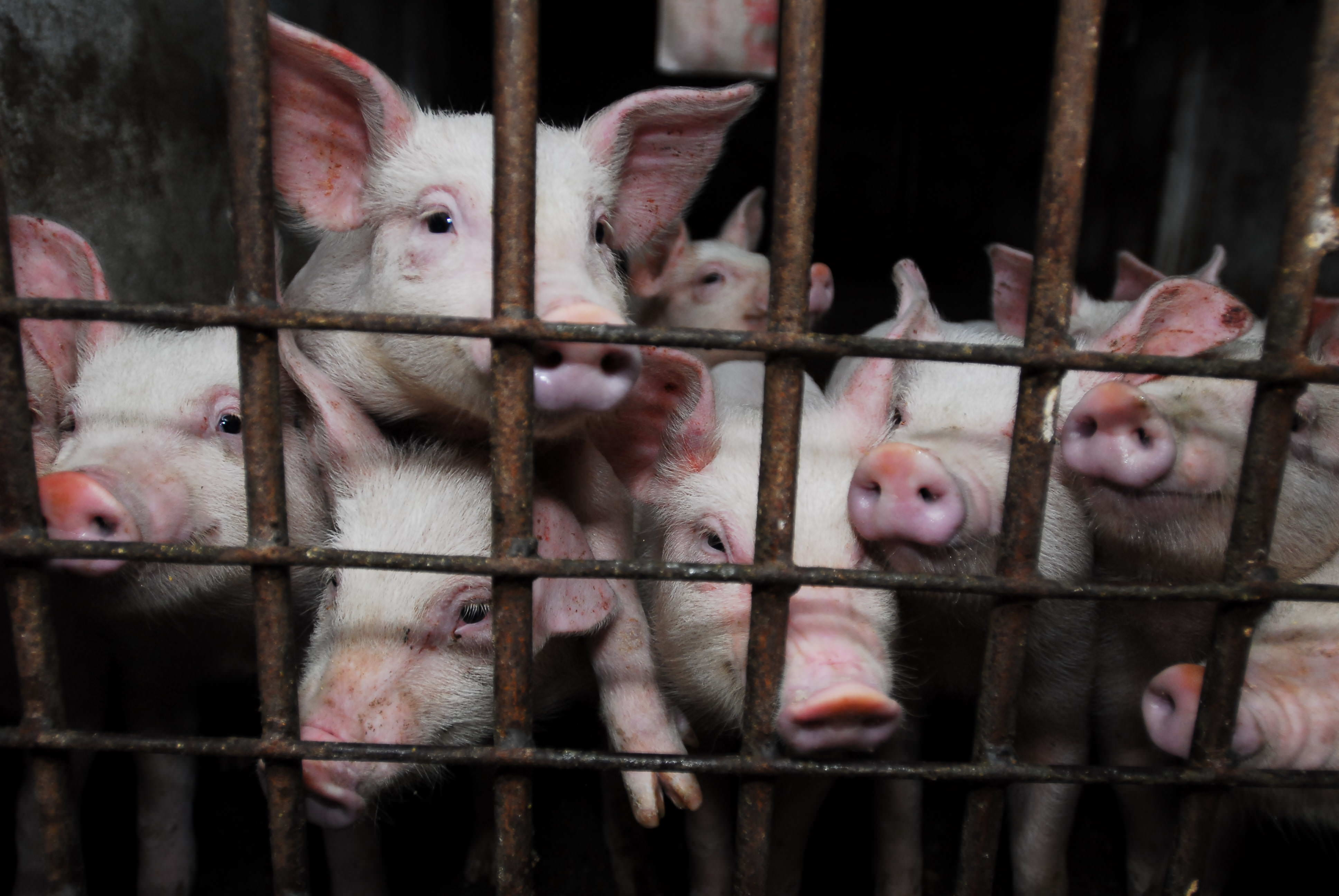 Image result for intensive caged animals eu