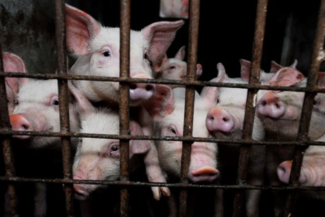Animal cruelty | Compassion in World Farming