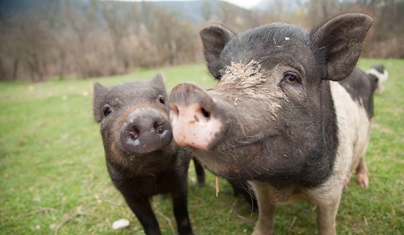 Due maiali in un campo con il muso verso la telecamera